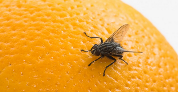 How To Get Rid Of Fruit Flies: 10 Best Homemade Traps