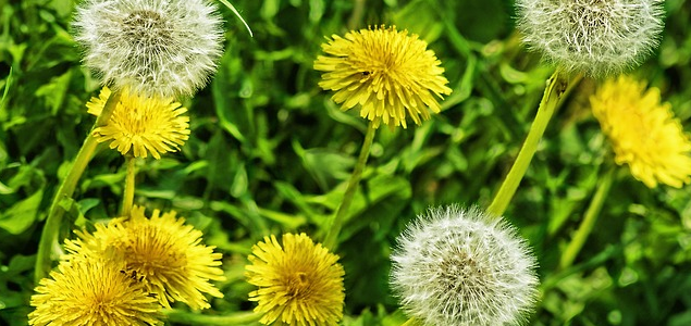 The Most Successful Steps On How To Get Rid Of Dandelions
